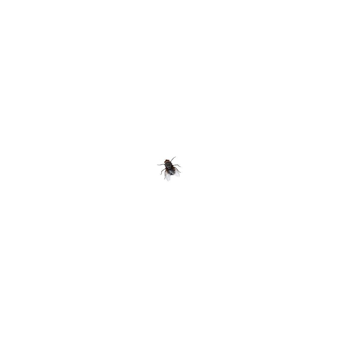 - untitled (a black fly (alive) in a white cube)