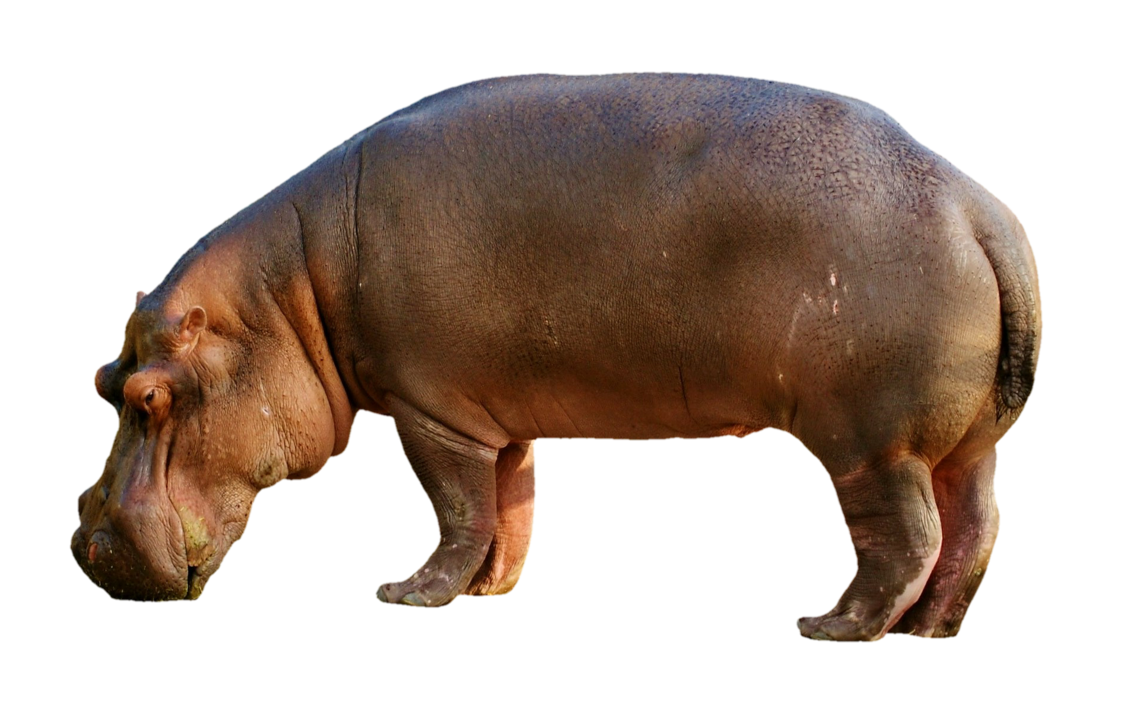 - untitled (a living hippopotamus adopted collectively)